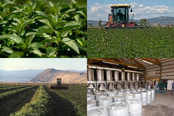 Growing mint in the Tule Lake Basin, Tulelake CA.  Photos by Anders Tomlinson.