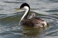 Mother and baby grebe on Sump 1B at Tule Lake National Wildlife Refuge. Photo by Anders Tomlinson.