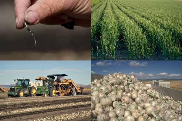 Growing onions in the Tule Lake Basin, Tulelake CA.  Photos by Anders Tomlinson.