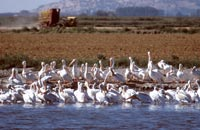 pelicans on walking wetlands in Tule Lake National Wildlife Refuge.  Photo by Anders Tomlinson.