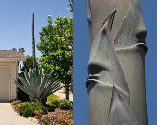 View of agave from the east and detail of faces on spire.  san diego.  Photos by Anders Tomlinson.