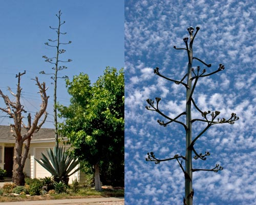 Agave century plant, 06-09-12, view from front yard, san diego, ca. Photo by Anders Tomlinson