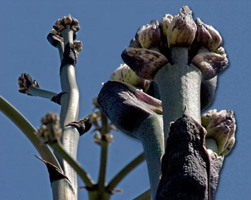 Close-up of the flowering agave century plant's crown, San Diego, Ca.  Photo by Anders Tomlinson.