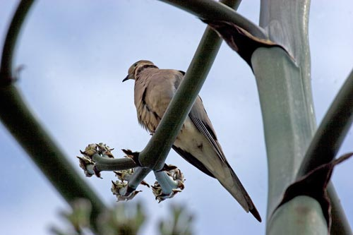 Dove perched on flowering agave century plant, San Diego, CA.  Photo by Anders Tomlinson.