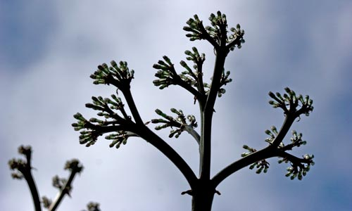 Structure of the branch system, flowering agave century plant, san diego, ca.  Photo by Anders Tomlinson.
