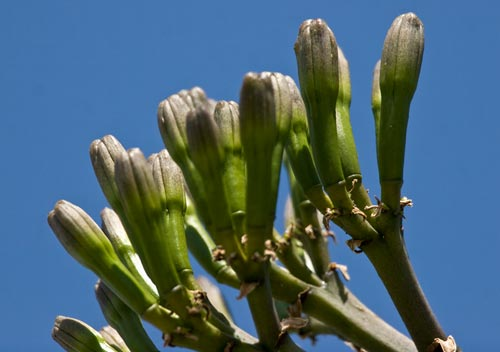 close-up  of what will become agave century plant flowers, 6-19-12, san diego, ca.  photo by anders tomlinson.