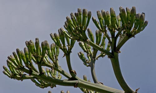 close-up of agave century plant branch structure, san diego, ca. photo by anders tomlinson.