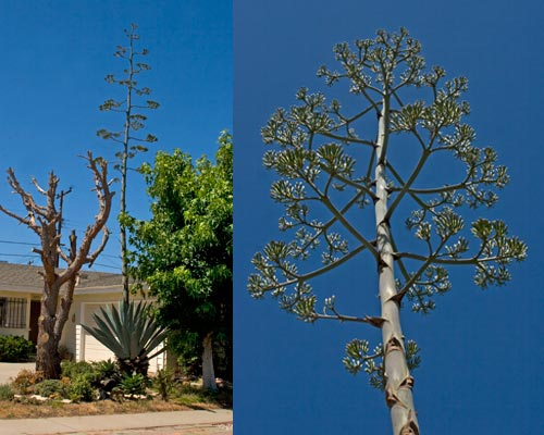 06-26-12, long shot of agave century plant, san diego, ca.  photo by anders tomlinson.