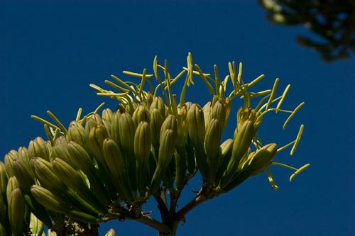 Agave century plant pods are opening, 7-15-12,  san diego, ca.  Photo by Anders Tomlinson