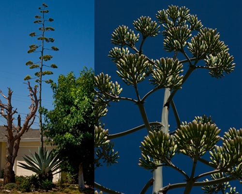 Agave century plant towers over the house, 7-15-12,  san diego, ca.  Photo by Anders Tomlinson