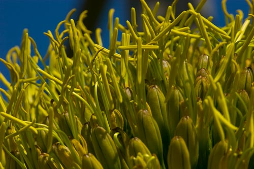 closeup blooms agave century plant, 7-17-12, san diego, ca.  Photo by Anders Tomlinson.