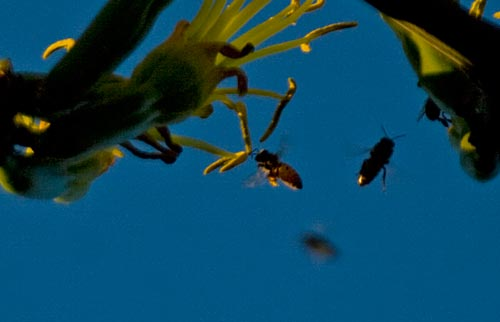 Bees visit agave century plant blooms, 7-19-12, san diego, ca. Photos by Anders Tomlinson