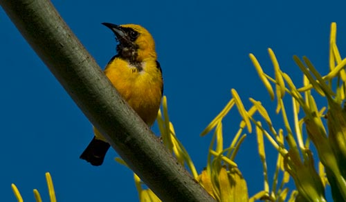 Mexican Orioles visit agave century plant bloom, 7-19-12, san diego, ca. Photos by Anders Tomlinson