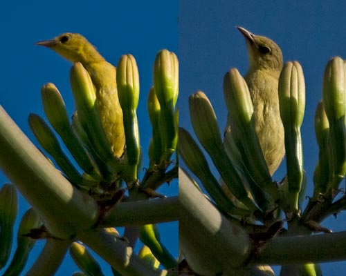 Oriole sitting in agave century plant bloom, 7-19-12, san diego, ca. Photos by Anders Tomlinson