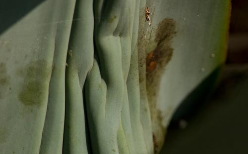Agave leaves are changing, 07-22-12, blooming agave century plant, san diego, ca. Photo by Anders Tomlinson.