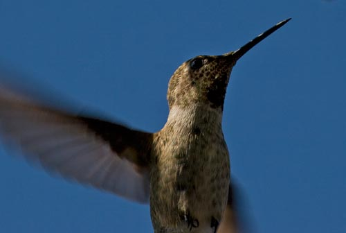 Hummingbird hovers, 07-22-12, blooming agave century plant, san diego, ca. Photo by Anders Tomlinson.