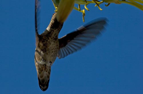 Hummingbird feeds, 07-22-12, blooming agave century plant, san diego, ca. Photo by Anders Tomlinson.