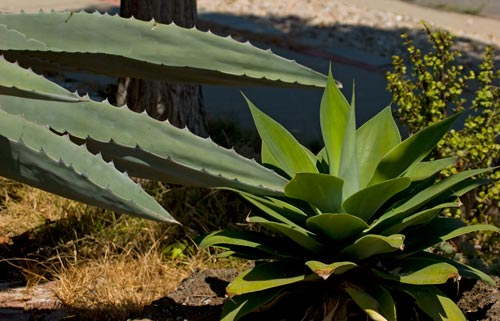 American Agave Century plant in bloom, leaves drooping, 8-1-12, San Diego, CA.  Photo by Anders Tomlinson.