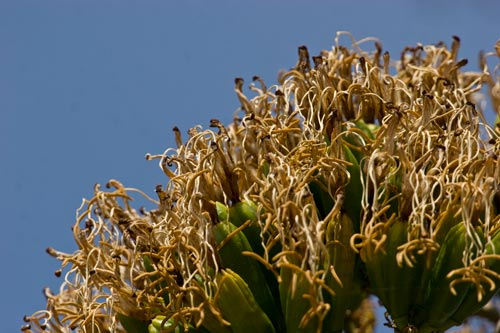 Agave Century plant in bloom, blooms drying out, 8-1-12, San Diego, CA.  Photo by Anders Tomlinson.