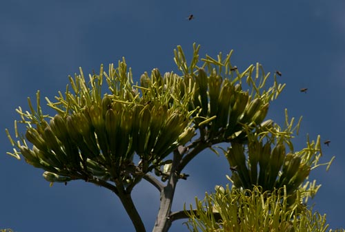 Agave Century plant in bloom, bes and crown in bloom, 8-3-12, San Diego, CA.  Photo by Anders Tomlinson.