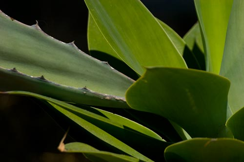 Agave Century plant in bloom, leaves drooping, 8-1-12, San Diego, CA.  Photo by Anders Tomlinson.