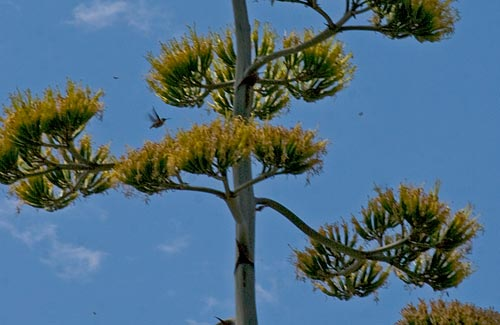 Agave Century plant in bloom, humming bird with bees and crown in bloom, 8-3-12, San Diego, CA. Photo by Anders Tomlinson.