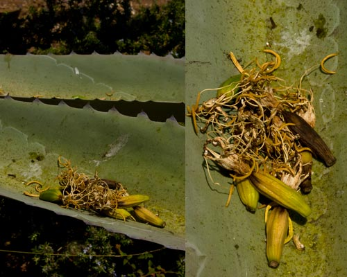 Agave Century plant in bloom, bloom litter on agave leaf, 8-1-12, San Diego, CA.  Photo by Anders Tomlinson.