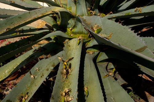 Agave Century plant in bloom, blooms on ground, 8-10-12, San Diego, CA. Photo by Anders Tomlinson.