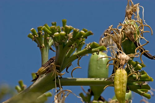 Agave Century plant in bloom, drying blooms , 8-10-12, San Diego, CA. Photo by Anders Tomlinson.