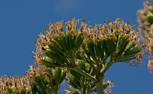 Agave Century plant in bloom, blooms drying out, 8-3-12, San Diego, CA. Photo by Anders Tomlinson.