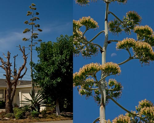 Agave Century plant in bloom, no more bees, 8-10-12, San Diego, CA. Photo by Anders Tomlinson.