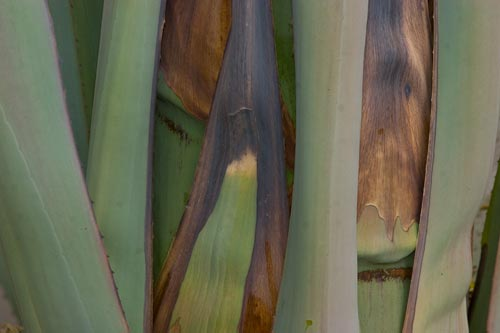 8-19-12, blooming century plant leaves begin to go soft, San Diego, CA. Photo by Anders Tomlinson.