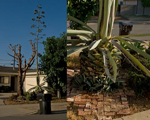 09-06-12, agave century plant starts to dry up. san diego, ca.  photos by anders tomlinson.