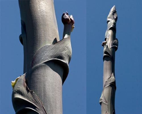 agave flowers beginning to appear, san diego, ca.  photos by anders tomlinson.