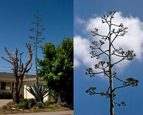 Agave century plant on 6-19-11, long shot from street, san diego, ca. photo by anders tomlinson.