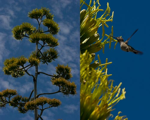 Agave Century plant in bloom, crown in bloom, 8-1-12, San Diego, CA.  Photo by Anders Tomlinson.