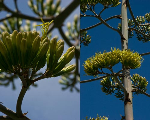 Details of agave century plant pods are opening, 7-15-12,  san diego, ca.  Photo by Anders Tomlinson