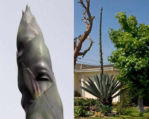 5-9-12, agave century plant in front yard, san diego, ca.  photos by anders tomlinson.