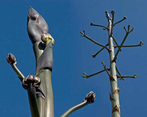 branch system forming on agave century plant, san diego, ca.  photo by anders tomlinson.