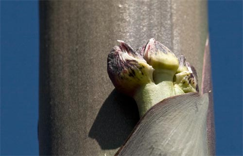 agave flowers beginning to appear, san diego, ca.  detail of emerging bud.  photos by anders tomlinson.