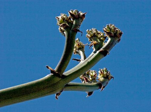 5-27-12, the flower system begin to develop on the agave century plant, san diego, ca. photo by anders tomlinson.