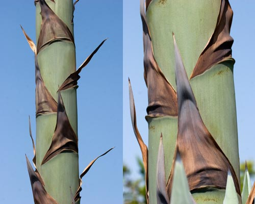 agave leaves drying out, sand diego, ca.  photos by anders tomlinson.