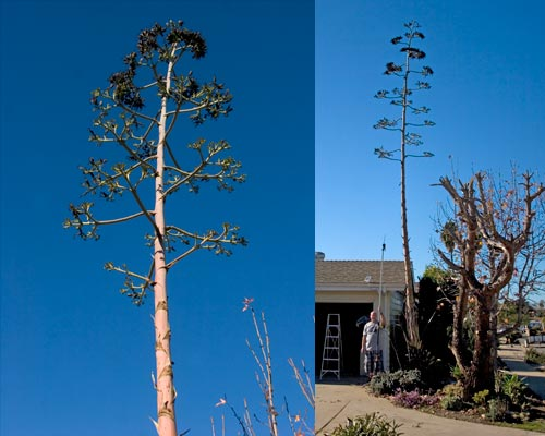 01-08-13, agave century bloom spire is cut down. San Diego, Ca. Photos by Anders Tomlinson.
