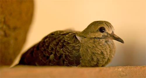 baby dove out of the nest for the first time, san diego, ca.  Photo by Anders Tomlinson.