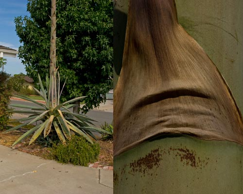 09-04-12 agave leaves are drooping after century plant blooms, San Diego, CA. Photos by Anders Tomlinson