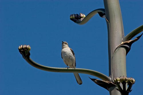 mocking bird perches on agave century plant growing branch, san diego, ca.  photo by anders tomlinson.