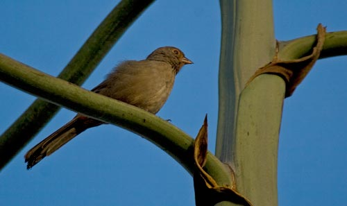 09-04-12, birds return to perching on Agave century plant, San Diego, CA. Photo by Anders Tomlinson.