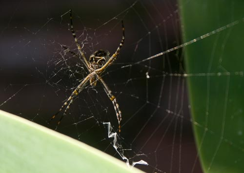 last photo of spider alive, 01-05-13 , san diego, ca.  photo by anders tomlinson