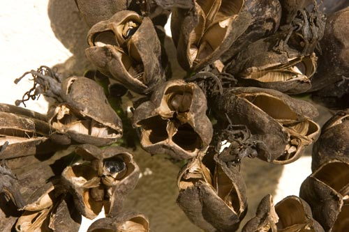 Dried seed pods for amercian agave, san diego, ca. 01-15-13.  photo by anders tomlinson.