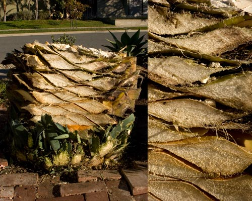 Cross section of american agave stump, 01-20-13, san diego, ca.  photos by anders tomlinson.